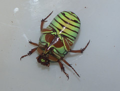 Cetoniidae>Eupoecila inscripta Flower beetle DSCF6305 (Bill & Mark Bell) Tags: exmouth westernaustralia australia geo:town=exmouth geo:state=westernaustralia geo:country=australia geo:lon=11425453egeolat2217752sgeoalt8m 11425453e2217752salt8m taxonomy:kingdom=animalia animalia taxonomy:phylum=arthropoda arthropoda taxonomy:class=insecta insecta taxonomy:order=coleoptera coleoptera taxonomy:family=cetoniidae cetoniidae taxonomy:genus=eupoecila eupoecila inscripta taxonomybinomialnameeupoecilainscripta eupoecilainscripta taxonomycommonnameflowerbeetle flowerbeetle insect animal fauna green beetle