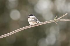 pretty bird (martinaschneider) Tags: trees winter ontario tree bird bokeh guelph arboretum blackcappedchickadee