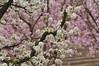 Plum and peach blossoms (HockeyholicAZ) Tags: california whiteflower spring blossoms peach plum pinkflower fresnocounty blossomtrail