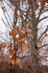 Touch of Fall (Pics by Abigail) Tags: winter brown fall nature leaves canon rebel golden oak dof cloudy bokeh shallow february remnants tamron2875 tamron2875mmf28 tamronlens touchoffall