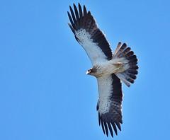 Booted Eagle (henwood.john) Tags: nature birds eagles raptors birdsofpreyraptormigration
