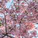 IMG_0046_48 吉野櫻 HDR