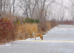 Coyote in the Park (Hanzy2012) Tags: nikon d90 toronto tommythompsonpark lesliestreetspit sigma300mmf28exapodghsm teleconverter wildlife coyote canislatrans nature wild