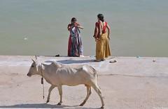 Femmes indiennes, aprs leurs ablutions, sur un ghat de Pushkar en compagnie d'une vache sacre. Indian women, after their ablutions, on a ghat in Pushkar accompanied by a sacred cow. (Olivier Simard Photographie) Tags: people india lake water temple cow women eau lotus femme prayer pray lac charm foi sacred foule fe pushkar hinduism saree sari cygne pilgrim rajasthan sacr femmes brahma inde charme allure candidshot ghat purify purification lgance ablutions hindouisme vachesacre sacredcow prire plerin puret dvotion nikond90 rincarnation aravallihills ajmerdistrict devangar kunds  kartikpurnima  womeninsari  trimrti oliviersimardphotographie httpelephantravelcom