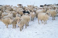 DSC01431 (ekremenak) Tags: photo iceland sheep 1502 150212