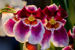 63rd  Annual Pacific Orchid Exposition (julesnene) Tags: sanfrancisco orchid flower macro flora orchids fortmason 2015 pacificorchidexposition julesnene thethrillofdiscovery juliasumangil canonef100mmf28lmacroisusm canon7dmarkii canon7dmark2 63rdannualpacificorchidexposition