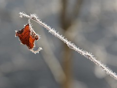 (:Linda:) Tags: germany thuringia village snow twig leaf hoarfrost bürden caught oneleaf raureif