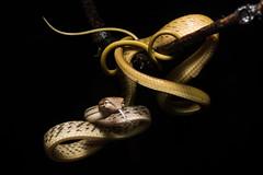 Golden Ahaetulla (antonsrkn) Tags: tongue night reptile snake jungle malaysia borneo serpent herp danum herpetology colubrid arboreal danumvalley dvfc asianvinesnake ahaetulla ahaetullaprasina orientalwhipsnake dvca