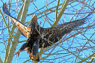 2015 Feb 28 Juvenile Bald Eagle 9066