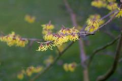 Zaubernuss (Simone Schloen  www.bilderimkopf.de) Tags: green yellow canon spring gelb grn frhling helios witchhazel zaubernuss simoneschloen
