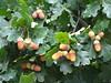 Fecund English Oak tree. Adelaide Hills. (denisbin) Tags: hills adelaide acorns fecund adelaidehills englishoak