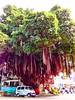 台南市東門路上有棵超大榕樹叫「東城神榕」,真是大得已到神的等級了。 Huge Tree Old Tree Huge at 古都碗裸 (玥視界) Tags: oldtree huge hugetree