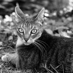 ...aux aguets... (fredf34) Tags: portrait blackandwhite bw white black cat chat noiretblanc pentax gato ricoh carr k3 fredf gaa formatcarr portraitcarr fredf34 pentaxk3 ricohpentaxk3 fredfu34 pentax50mmf18smcda