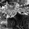 ...aux aguets... (fredf34) Tags: portrait blackandwhite bw white black cat chat noiretblanc pentax gato ricoh carré k3 fredf gaïa formatcarré portraitcarré fredf34 pentaxk3 ricohpentaxk3 fredfu34 pentax50mmf18smcda