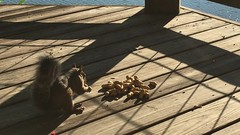 IMG_8061 (Marshen) Tags: squirrel peanuts