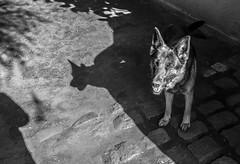 Zafi Alid (danigutib) Tags: dog perro german shepherd animal blancoynegro chile sanpedro explore nikon nikkor dslr camera camara pov dof nikondf 58mm happy feliz tongue lengua shadow sombra ears orejas eyesclosed ojoscerrados love pet mascota byn bw baw sun sol soleado sunny photography fotografia moment flickr momento best lovely cute nice lindo bonito simpatico lente lens blackandwhite monochrome