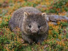 Joey Wombat (Paula McManus) Tags: wombat olympus paulamcmanus 70300mm epl5 olympuspen cradlemountain tasmania marsupial babywombat joey native fauna australiannativeanimal nature