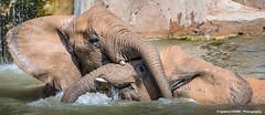 Playing (Ignacio Ferre) Tags: elephasmaximus elefanteasitico elefante zoo mammal mamfero elephant asianelephant bioparc valencia animal playing jugando spain espaa
