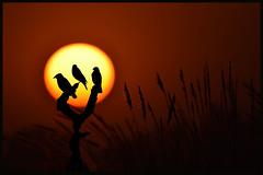 The Dying Sun (Arshad Aashraf) Tags: pictures life pakistan sunset love beautiful beauty birds photography nikon naturephotography naturelover sialkot birdsofpakistan wildlifephotographey birdslover headmarala