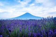 Fujisan and Kawaguchiko -  (Michael Torii) Tags:       fujisan fuji mount kawaguchiko herbfestival yamanashi japan  lavender purple