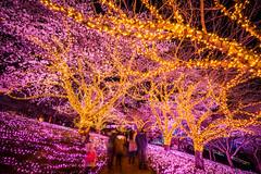 Sagamihara - Sagamiko Resort Pleasure Forest, Sagamiko Illumilion (5) () Tags:     sagamihara sagamikoresortpleasureforest sagamikoillumilion kanagawaprefecture  sakura night a7r