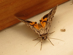 Sordid Underwing (magarell) Tags: insect moth nj plainsboro plainsboropreserve middlesexcounty njas newjerseyaudubon catocalasordida sordidunderwing