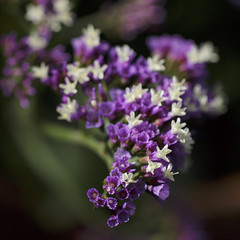 "Limonium ""Salt Lake"" (Wendy:) Tags: limoniumsalt lake macro purple"