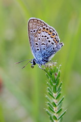 SILVER-STUDDED BLUE (Bradders62) Tags: blue southwest nature butterfly wildlife butterflies sigma insects dorset silverstuddedblue canoneos7d higherhydeheath dorsetheaths