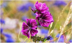 flowered (Lutz Koch) Tags: landwirtschaft feld acker field agrarculture agrar idsteinerland taunus idstein flowered flower blume geblmt elkaypics lutzkoch bokeh agrikultur agrarkultur agriculture