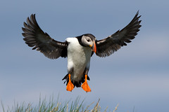 Puffin (Simon Stobart (back but busy)) Tags: flying landing grass bluesky northeastengland