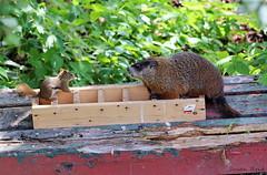 (Susan Hancox Reid) Tags: groundhog squirrel animal woodchuck rodent mammal