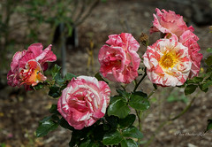 Colours on a Winter's day (idunbarreid) Tags: roses