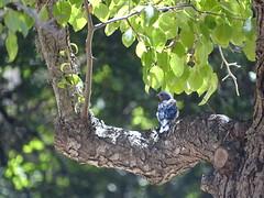 California '16 (faun070) Tags: sialiamexicana westernbluebird purisima lapurisimamissionstatehistoricpark