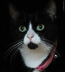 Mittens (SteveH1972) Tags: canon700d canonef70200mmf28lusm cat cats mittens pet animal cute black white portrait northlincolnshire bartonuponhumber uk britain europe feline eyes whiskers