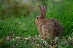 Mr. Hare or Mr. Rabbit? (simo m.) Tags: rabbit nature animal fur hare provence