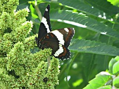 White Admiral Butterfly (clickclique) Tags: red white black flower tree green butterfly sumac whiteadmiral flowercone