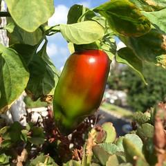Reddening Jalapeno (Assaf Shtilman) Tags: chili chilli jalapeno reddening blushing ripening red green pepper
