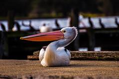 Pelican sitting on jetty (Richard Martin Cox) Tags: perth westernaustralia pelican findingdory findingnemo sunset