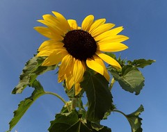 Sun (btn1131 www.needGod.com) Tags: plants flower floral nature sunflower kodak az522
