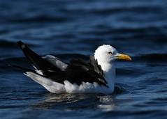 Larus fuscus (kaius.artimo) Tags: larusfuscus lesserblackbackedgull selklokki lakesuontee lbg gulls