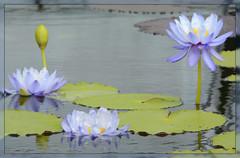 ~~~ Water Lily Watch - I. ~~~ (Wolverine09J ~ 1 Million + Views) Tags: comozsum16 flora purplewaterlillies aquatic nature summer blossoms lilypads naturespoetry~level1 conservatory minnesota floralfantasy thebeautyofnature