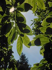 Translucence (Camperman64) Tags: clumberpark nottinghamshire dukeries summer bluesky leaves translucent sunlight silhouette transparent