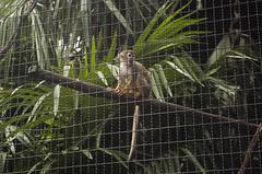 Saimiri (querin.rene) Tags: renéquerin qdesign parcolecornelle parcofaunistico lecornelle animali animals scimmia saimiri sudamerica
