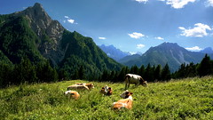 Happy cows come from Carnia (ScotchBroom) Tags: forniavoltri pierabec friuliveneziagiulia friuli fvg carnia italia italy alps alpi cows mucche dairycows mountains montagne