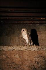 Barn owl, night safari, Taman Negara, Malaysia (iparky) Tags: malaysia tamannegara nightsafari barnowl