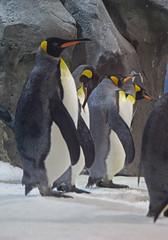 King Penguins 015 (DMT@YLOR) Tags: penguin kingpenguin ice rocks bird flippers beak yellow orange black white seaworld