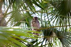 IMG_7816.jpg (M Bee) Tags: animals barkingowl bird