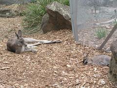 Roos - Sydney Day 4 - Toronga Zoo (gttexas) Tags: 2009 australia cruise kangaroo starprincess sydney tarongazoo