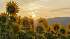 Illuminated in Sunrise (Nobuyuki Ikeda) Tags: nex6     sunrise sony sunflower morningsun    sun    nanto landscape cloud toyama  sky    japan mountain