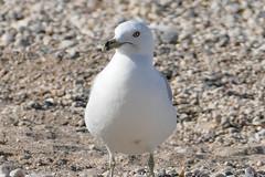 _1280502.jpg (Bucky-D) Tags: lakewinnipeg sand gull water fz1000 winnipegbeach seagull avian bird beach